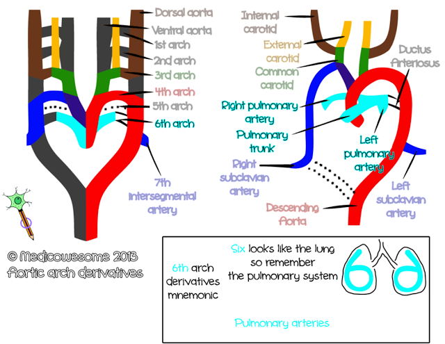 Sixth arch artery - Aortic arch derivatives embryology mnemonic