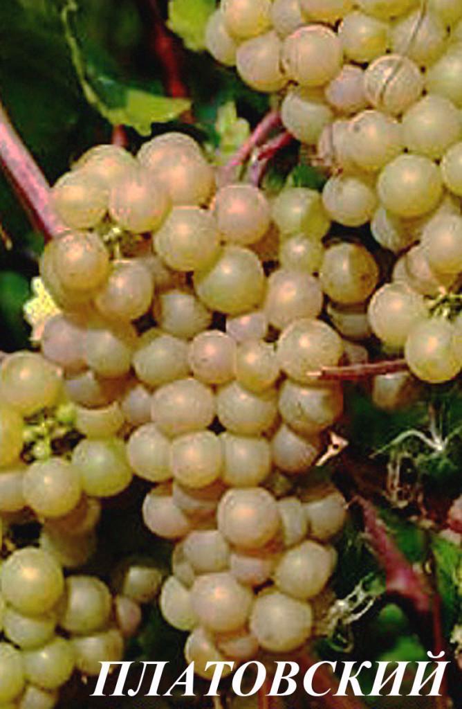 Картинки по запросу виноград платовский