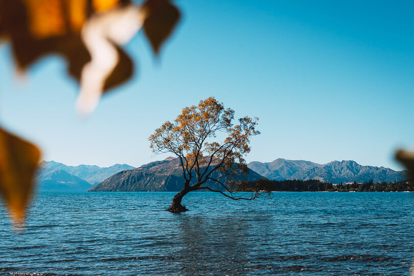 #thatwanakatree at Lake Wanaka in Autumn