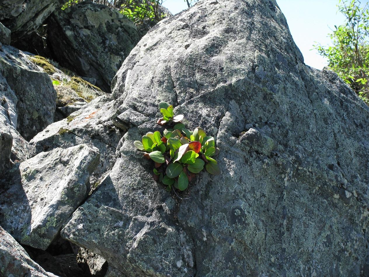 Бадан в природе