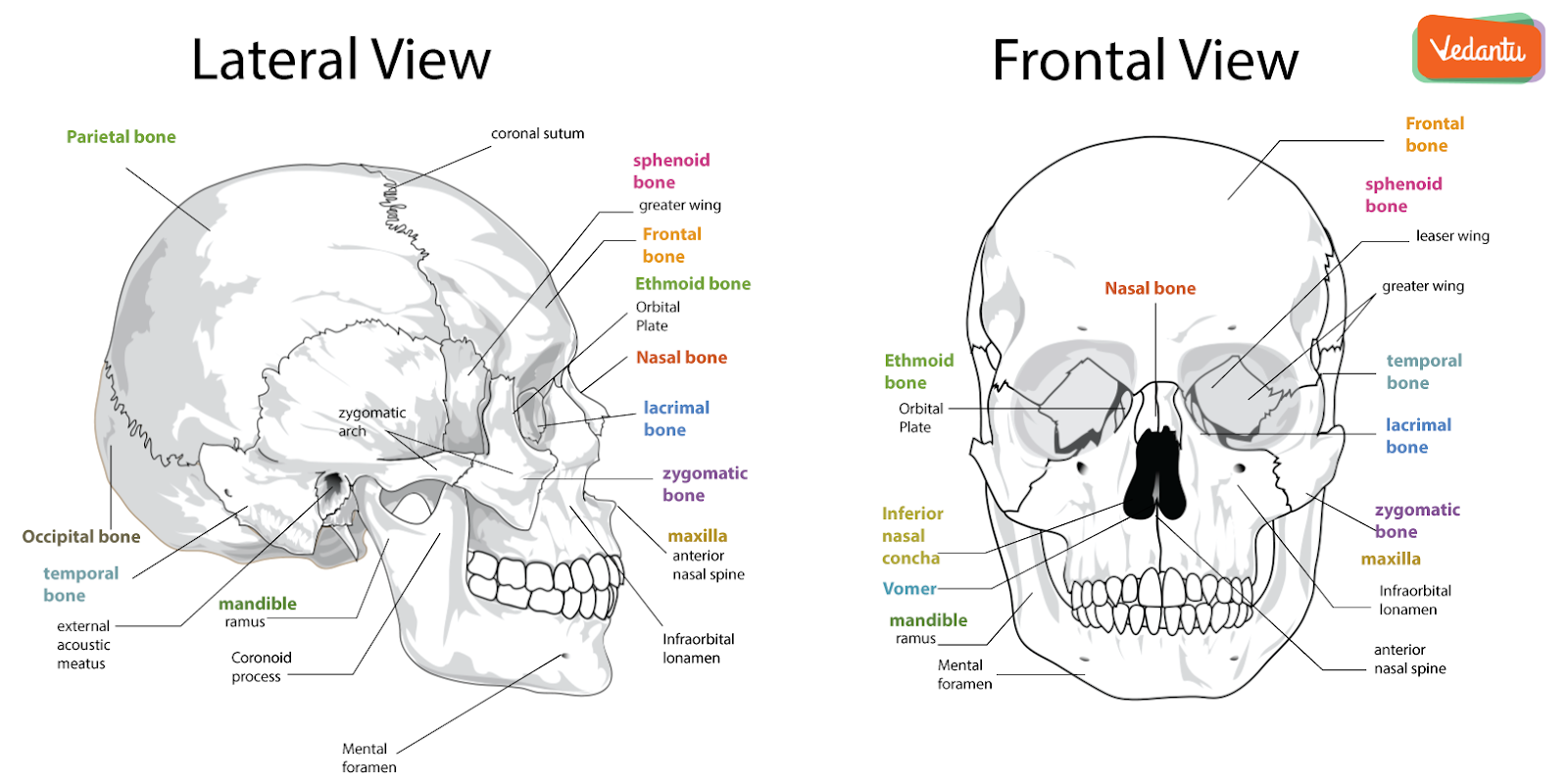 Structure of Human Skull