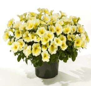 Image result for petunia good and plenty yellow