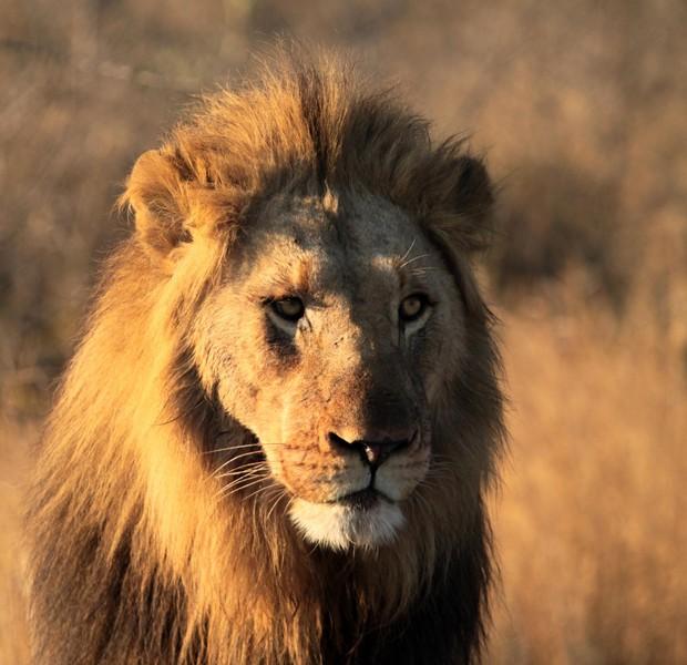 Lion-male-look-Hluhluwe.jpg