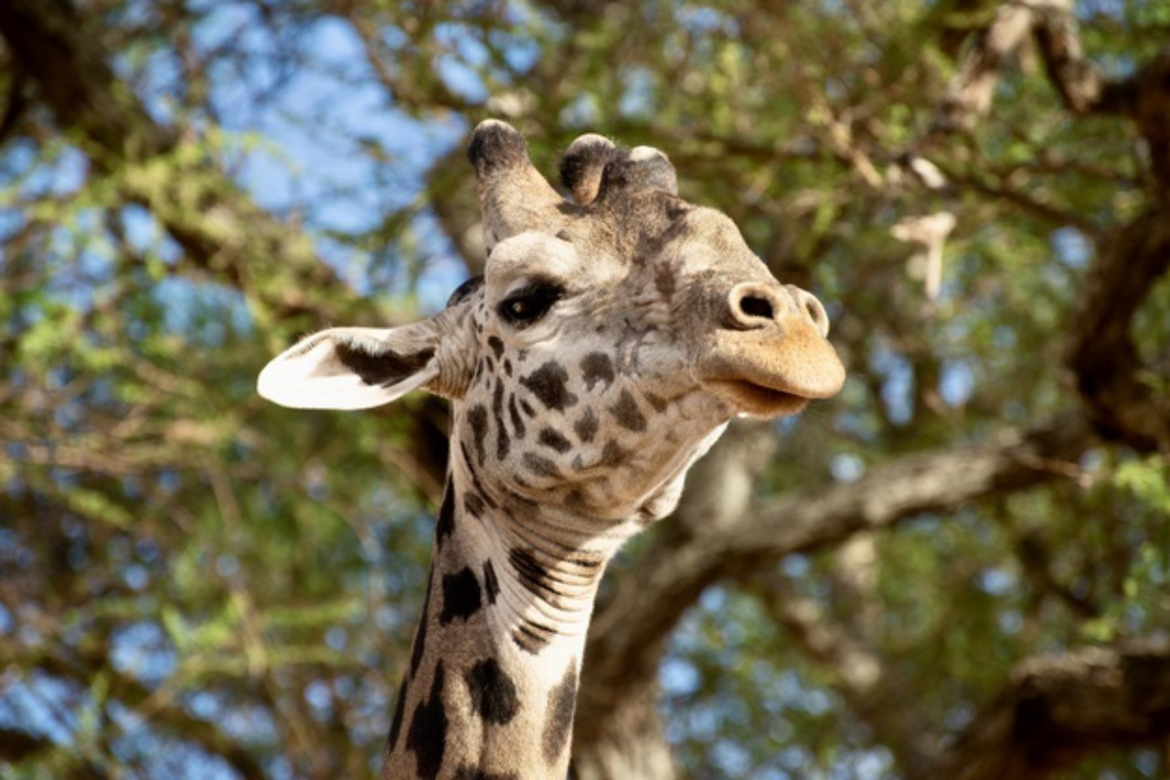 What Does A Giraffe Sound Like