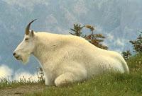 Mountain Goat White Horn