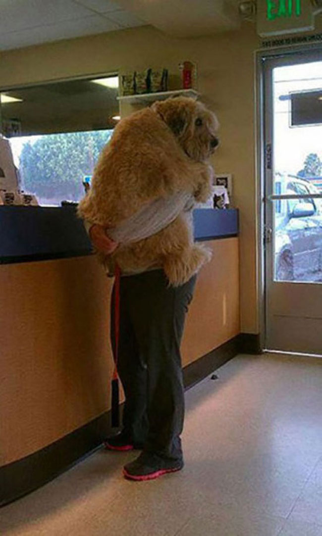 funny-carrying-giant-dog-vet