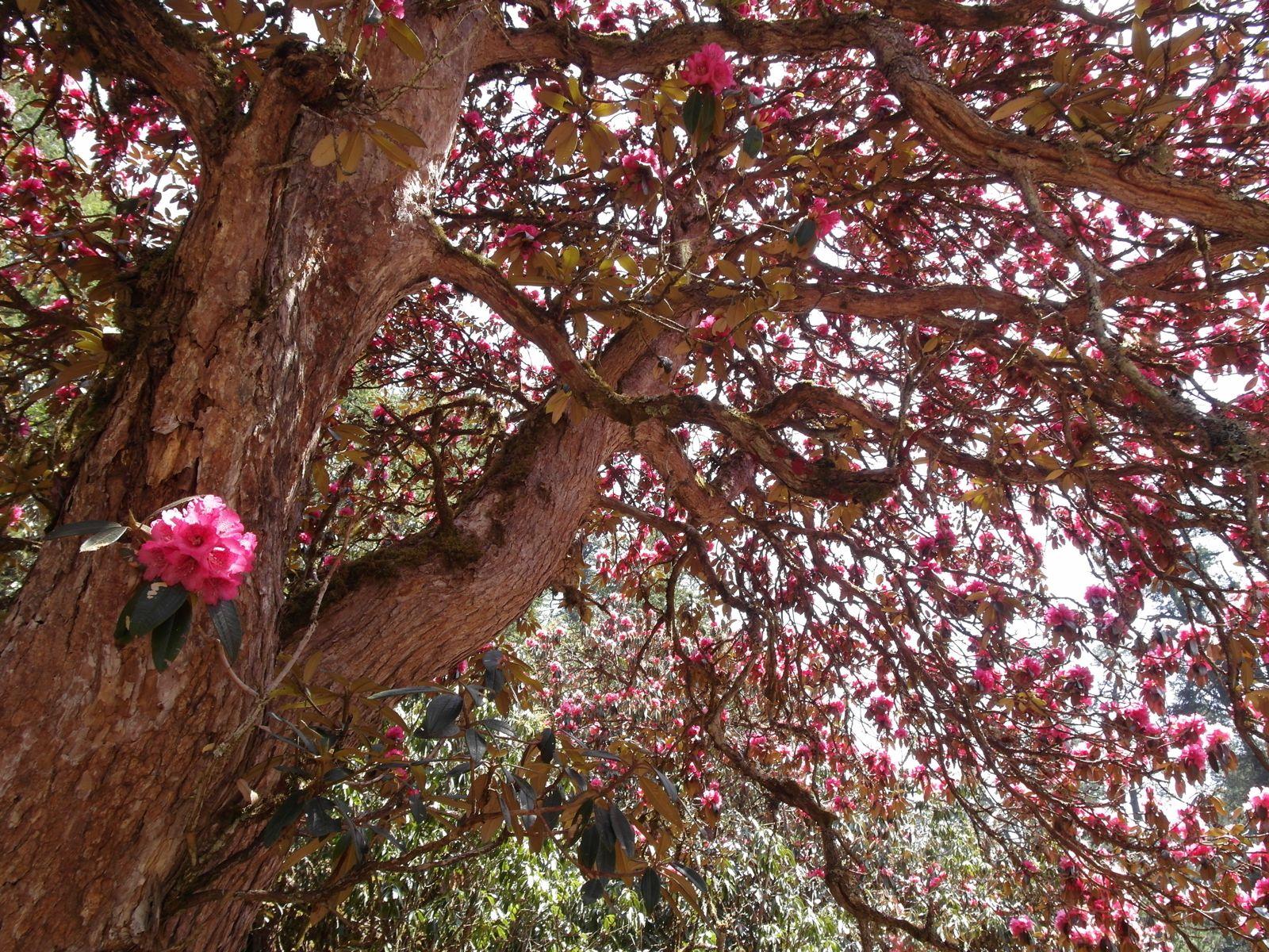 Rhododendron blume manaslu trek