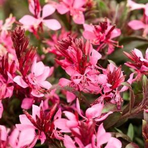 Karalee® Petite Pink - Butterfly Flower - Gaura lindheimeri