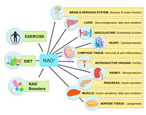 NMN impact on NAD+