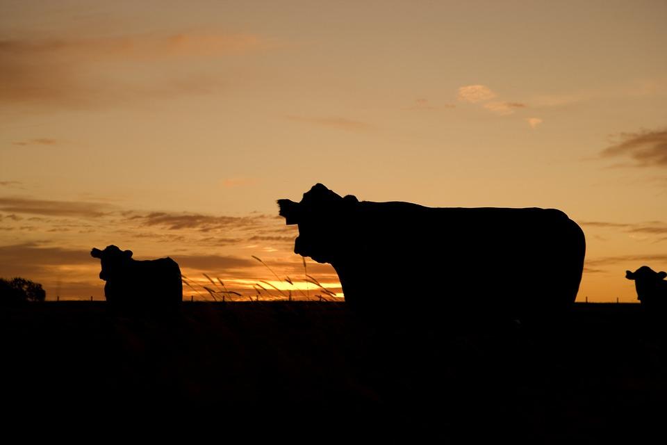 cattle-640985_960_720.jpg