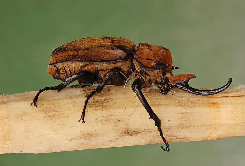 File:Elephant Beetle Megasoma elephas Male Side 2699px.jpg