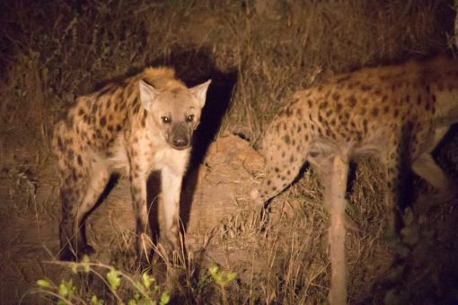 Animais da África do Sul - Duas hienas iluminadas pela luz de uma lanterna durante um safari noturno.