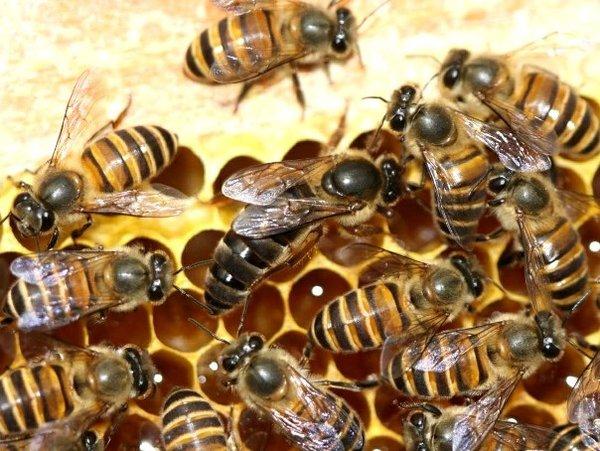 4 Jenis Lebah Madu yang Menghasilkan Madu Kualitas Terbaik