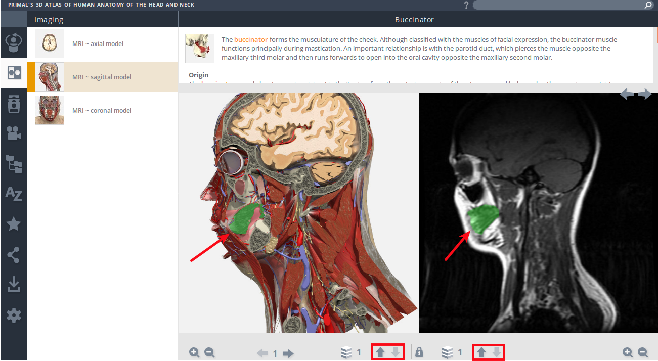 Primal's 3D Atlas of Human Anatomy of the Head and Neck - Mozilla Firefox_061.png