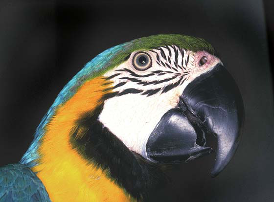 Normal beak in a blue and gold macaw