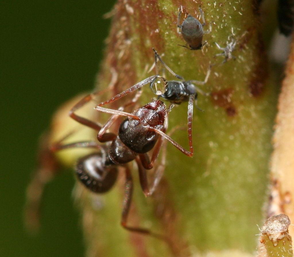 https://upload.wikimedia.org/wikipedia/commons/thumb/5/58/Ant_feeding_on_honeydew.JPG/1024px-Ant_feeding_on_honeydew.JPG