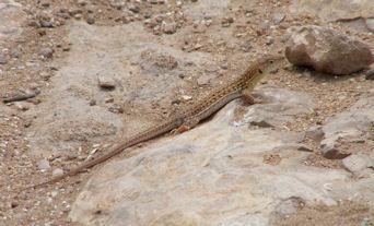 lizardmassaweb.jpg