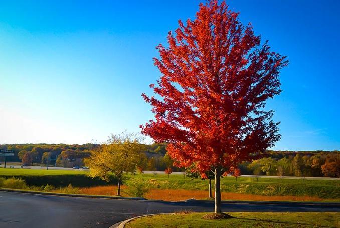 autumn-flame-maple-2.jpg