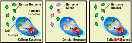 Endocrine Disruptor effect on hormones