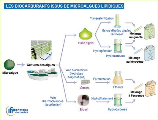 biocarburant-microalgue.jpg