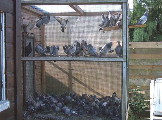 A pigeon loft with a crowded outdoor flight cage creates an undesirable stressful situation
