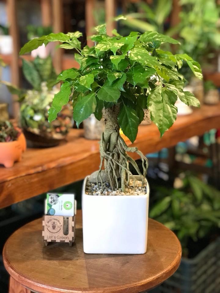 Nên đặt cây trong nhà, trên bàn để cây dễ dàng phát triển