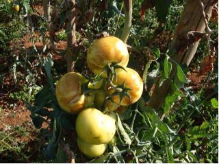 Doença do tomateiro - fungo 2