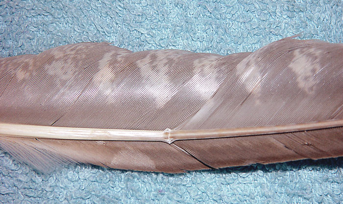 A severe bend in the mid shaft of a main flight feather