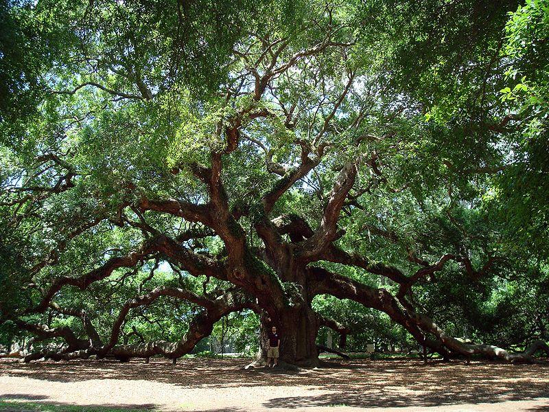 Wikipedia the angel oak tree in south carolina author dannyboy7783