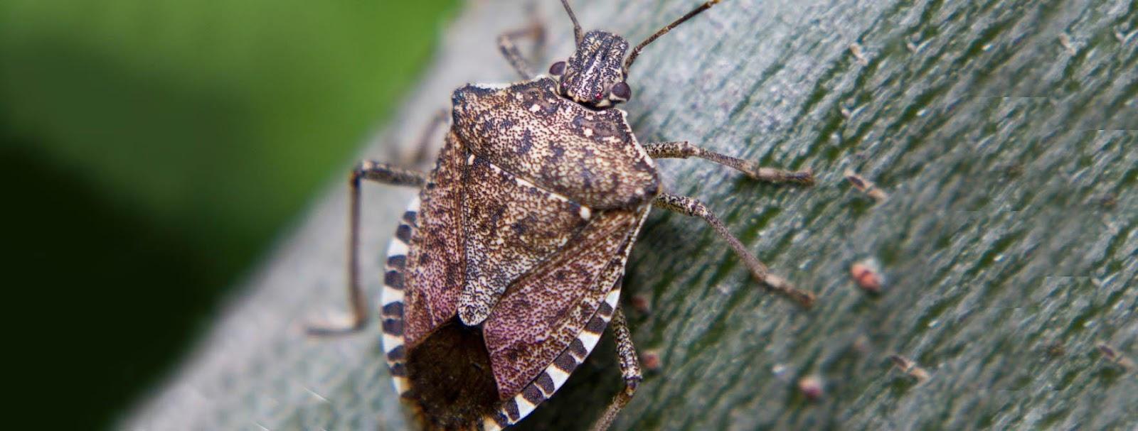 Removing stink bug infestations