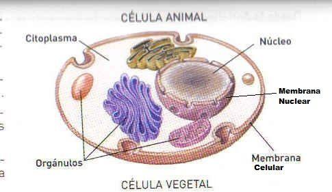 Resultado de imagen de celula