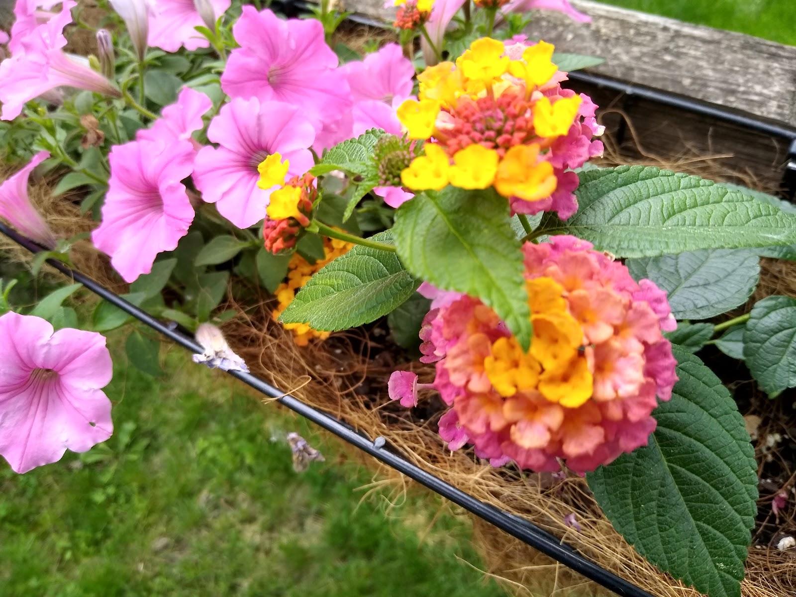 petunia and lantana picture