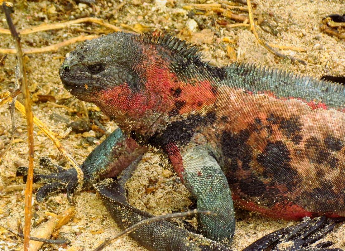 Image result for A. c. sielmanni   MARINE IGUANA
