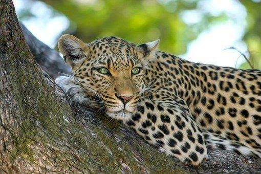 Leopard, Wildcat, Big Cat, Botswana