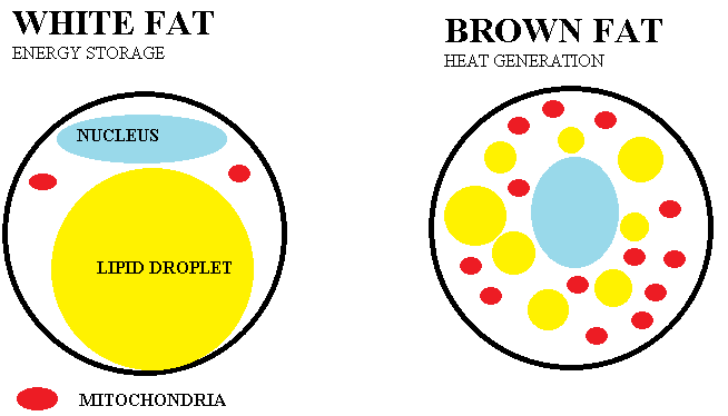 The Brown Fat