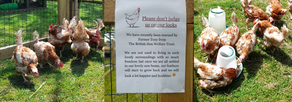 Updates from the farm at Lower Campscott Farm includes new chickens, north devon holidays.