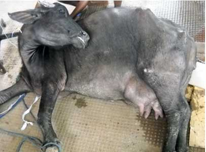 A buffalo with milk fever in lateral recumbency.