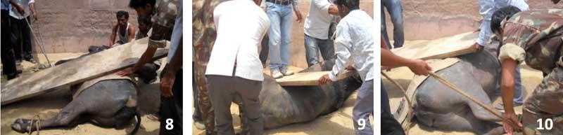 Rotación de una búfala con torsión uterina utilizando el método de Schaeffer.