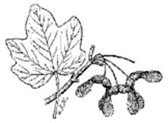 Florida Maple