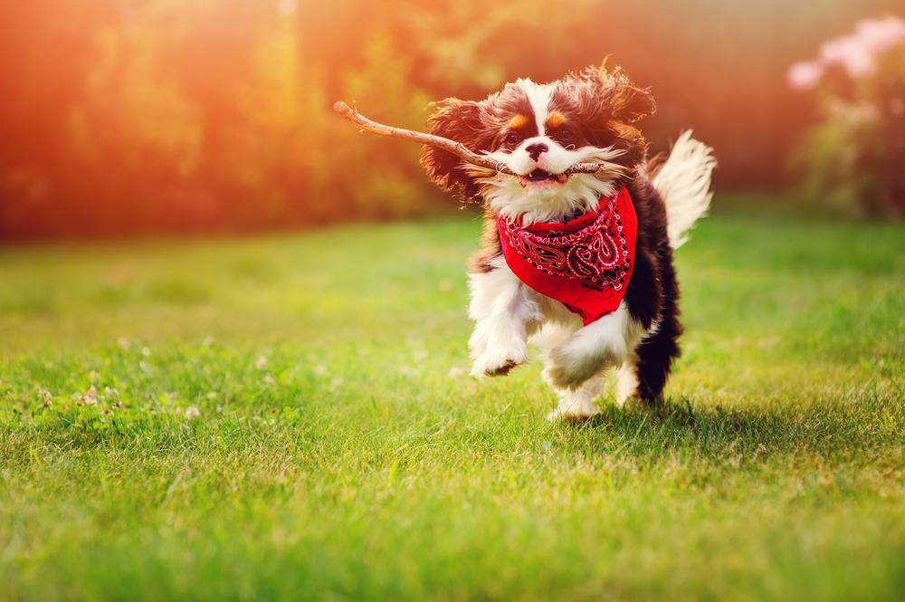 young tricolor cavalier king charles spaniel dog playing and running with stick in summer garden