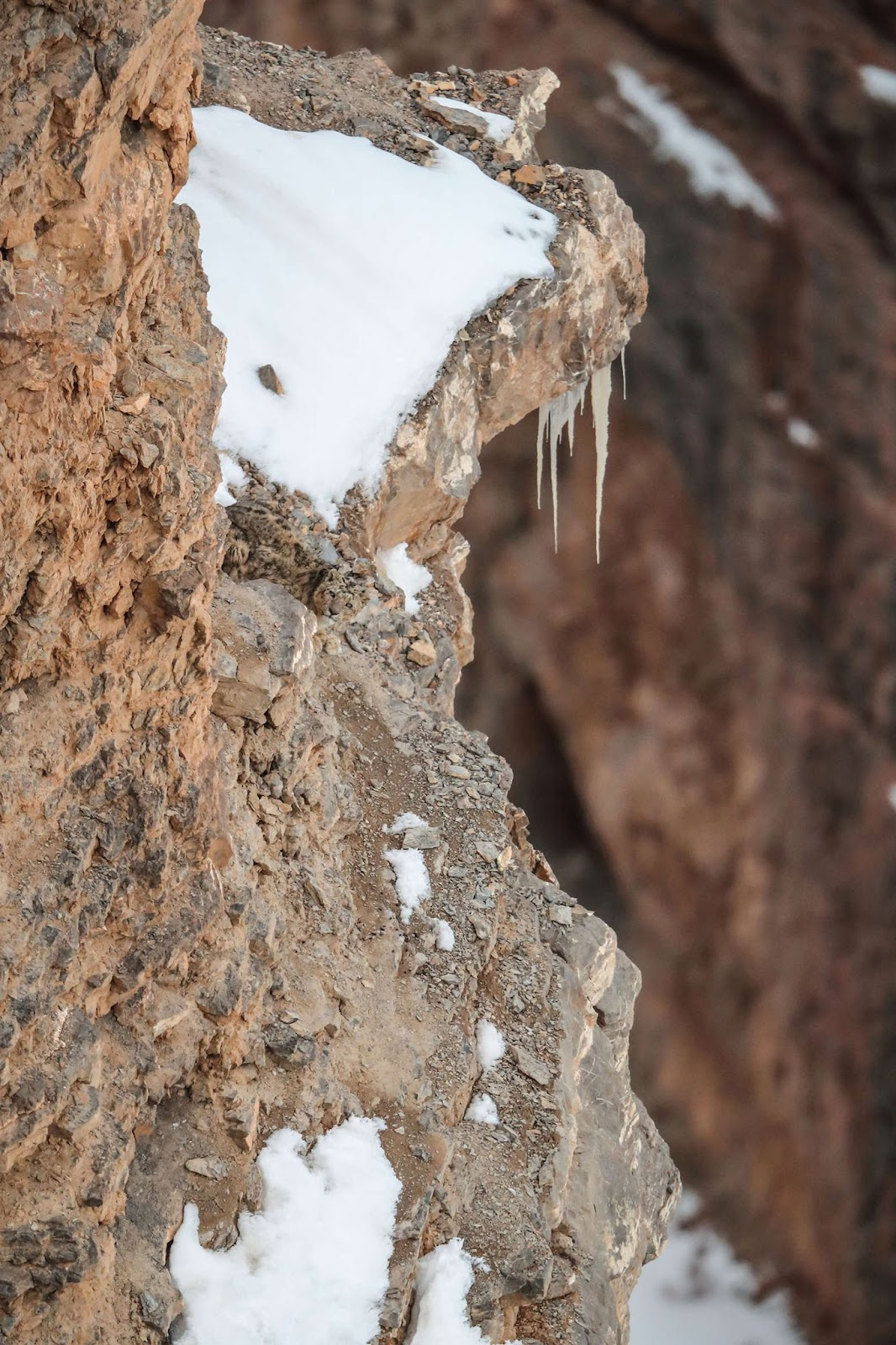 Photo of snow leopard by Saurabh Desai from Visual Poetries