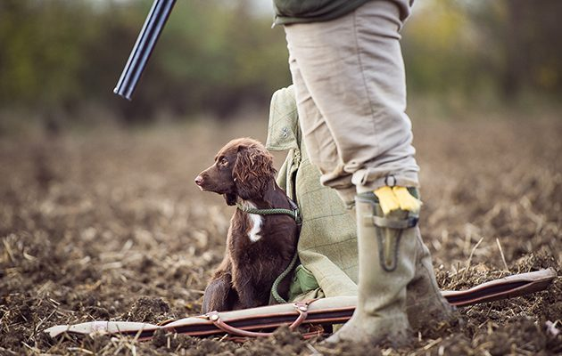 cocker spaniel with owner and a gun