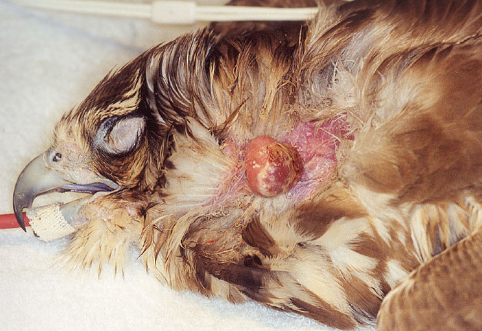 An unusual nodular growth produced by avian pox on an apterium of the neck of a saker falcon