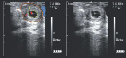 Image échographique d'un embryon d'alpaga (Jour 28)