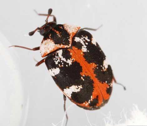 http://entnemdept.ufl.edu/creatures/fabric/common_carpet_beetle05.jpg