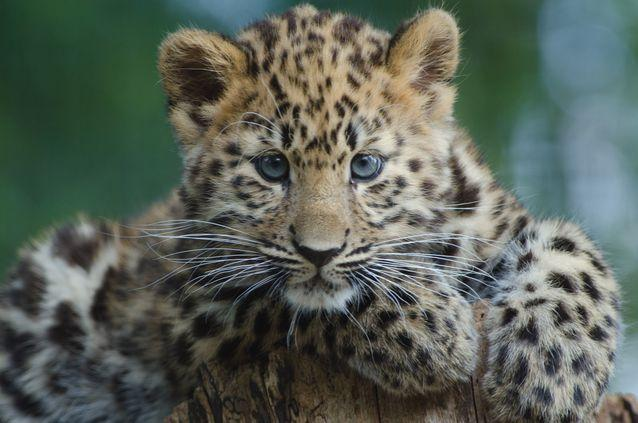 Résultat d'image pour les léopards de l'Amour