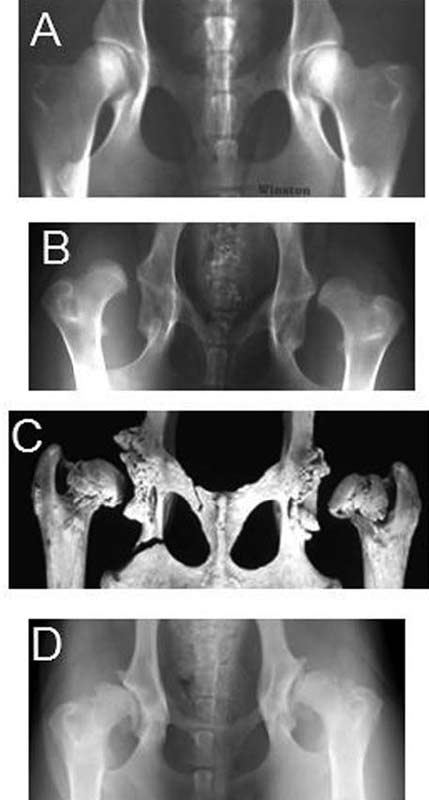Ventrodorsal radiograph of the pelvis of a dog with good hip conformation