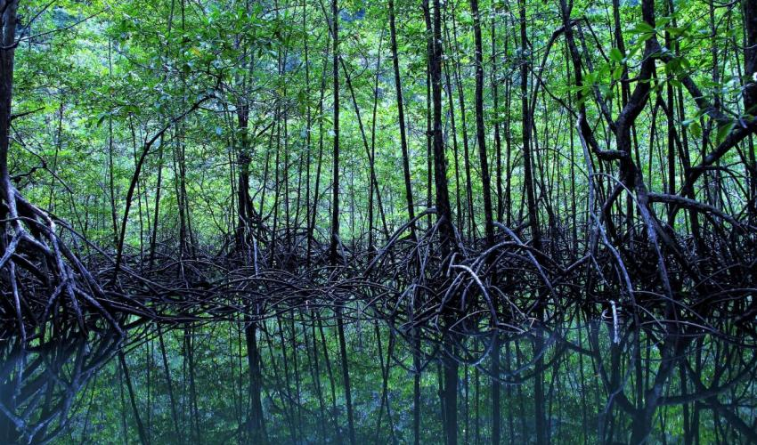 This image has an empty alt attribute; its file name is the_main_mangrove_forest_mainly_rhizophora_racemosa_at_rio_sierpe_costa_rica_edit.jpg