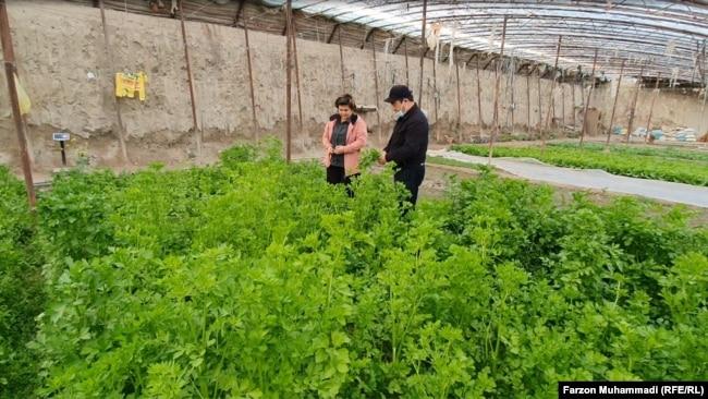 Супруги выращивают овощи для рабочих «Таджикско-китайской горно-промышленной компании»