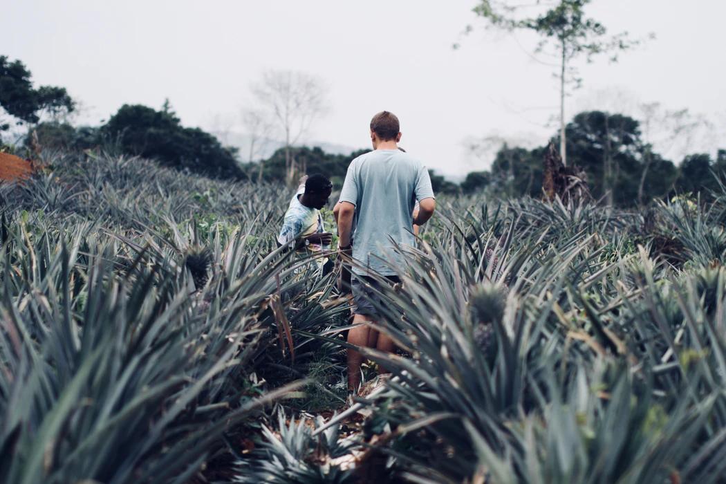 ananassipõld